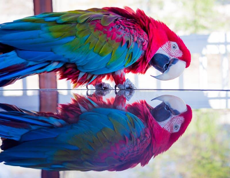 Gräsplan-påskyndad röd fågel för arapapegojahusdjur som stirrar på hennes egen reflexion i tabell royaltyfri fotografi