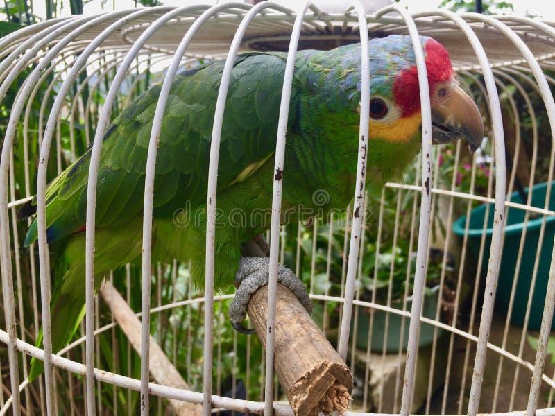 Gräsplan röd papegoja med gula kinder arkivfoton