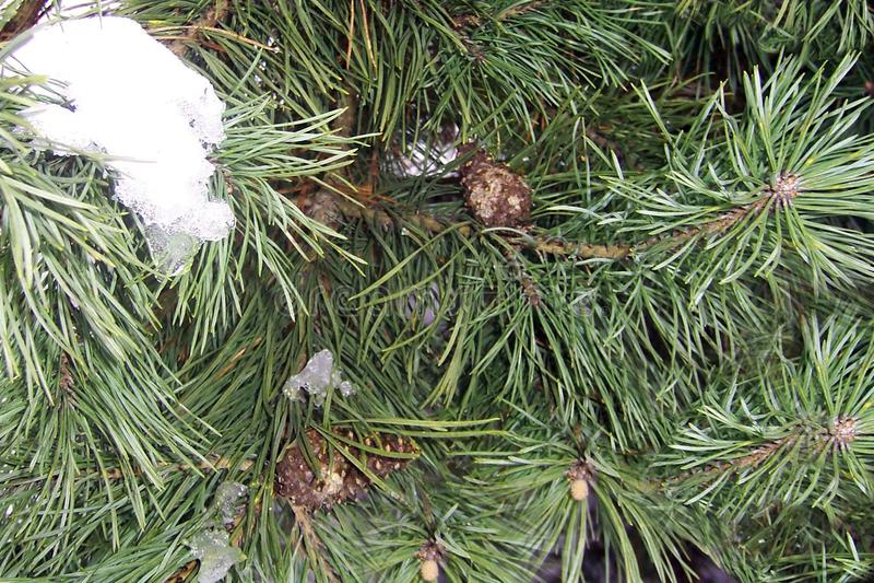 gräsplan sörjer ett ungt träd i parkerar, ett slut upp, förgrena sig brun kottesnö fotografering för bildbyråer