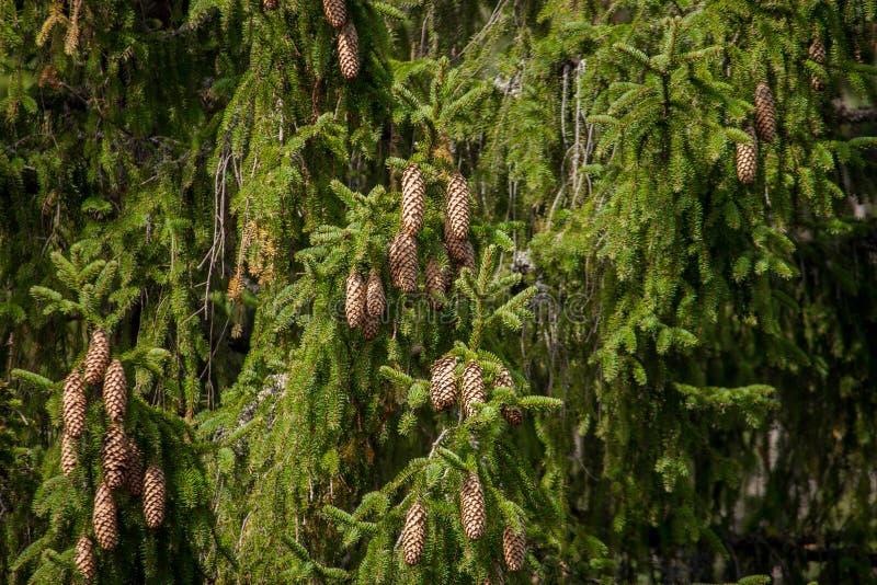 Gräsplan sörjer träd med kottar i härlig skog sörjer trädfilialer med kottar grön tree för bakgrundsjul royaltyfri fotografi