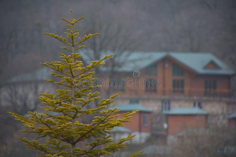 Gräsplan sörjer trädet Azerbajdzjan Ny granfilial i solsken filialer spruce Gran i skogen på en solig dag arkivfoto