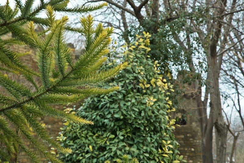 Gräsplan sörjer trädet Azerbajdzjan Ny granfilial i solsken filialer spruce Gran i skogen på en solig dag Jultren arkivfoto