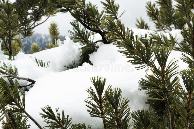 Gräsplan sörjer trädfilialer med ny snö royaltyfri bild