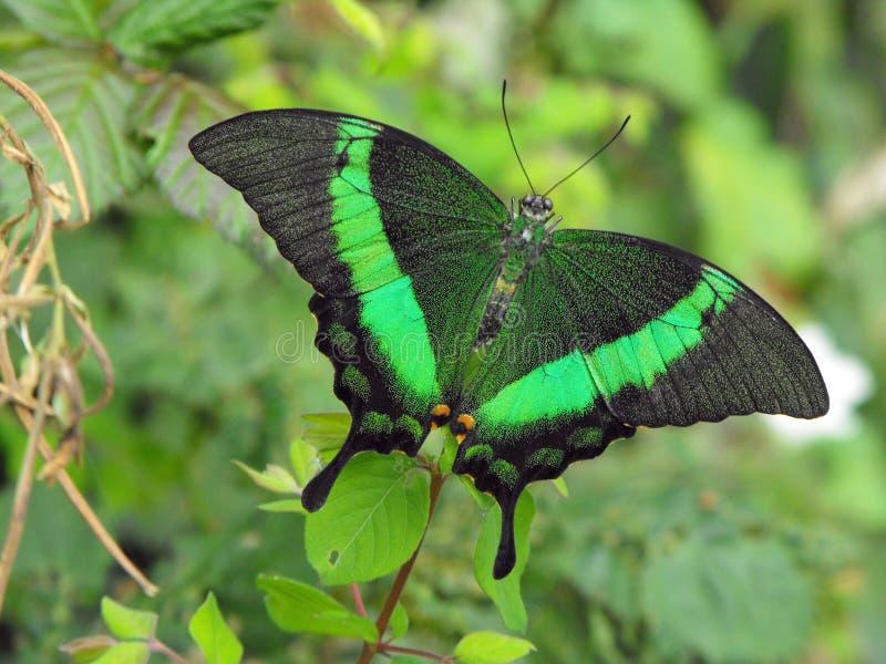 Gräsplan satte band Swallowtail arkivfoto