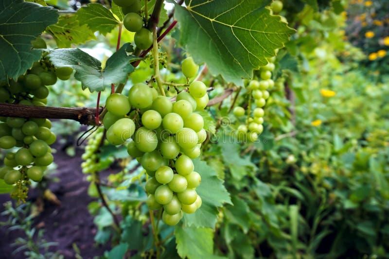 Gräsplan som är omogen, vindruvor i vingård, druvor som växer på vinrankor i vinrankagård arkivbilder