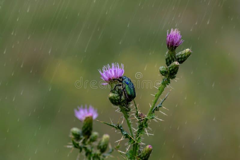 Gräsplan steg den utskjutande Cetoniaaurataen för chaferen som sitter på rosa blommor fotografering för bildbyråer