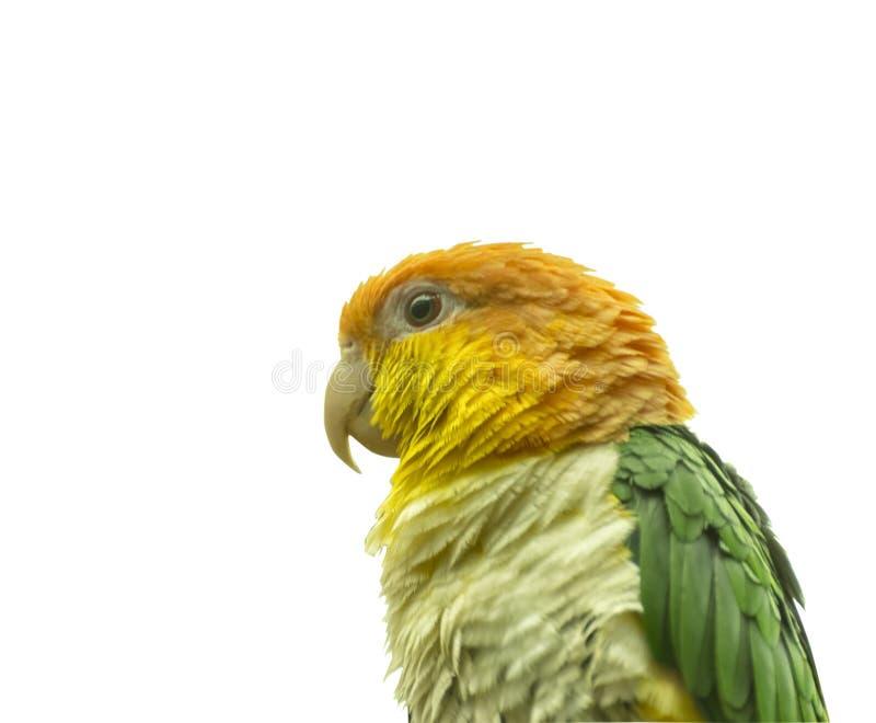 Gräsplan-thighedpapegoja, Pionites leucogasterleucogaster exotisk fågel slut som isoleras upp royaltyfria foton