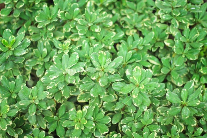 Gräsplanbladet för den bästa sikten med vita kantband och vattendroppmodeller texturerar naturen för bakgrund, dekorativa växter royaltyfri bild