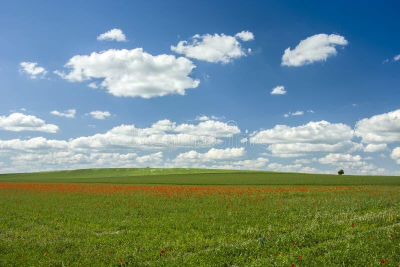 Gräsplanfält med röda vallmo och blå himmel royaltyfria bilder