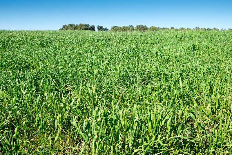 Gräsplanfält under blå himmel royaltyfri fotografi