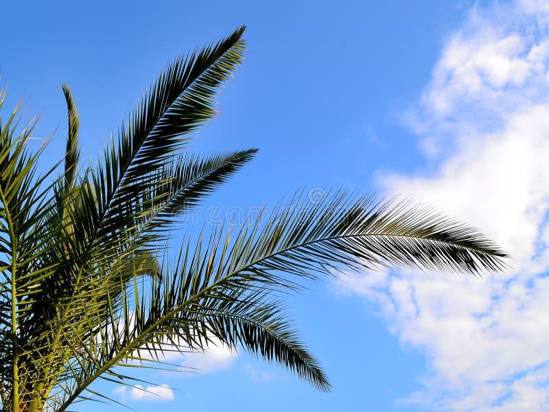 Gräsplanfilialer av datumet för kanariefågelön gömma i handflatan mot en ljus blå himmel royaltyfria foton