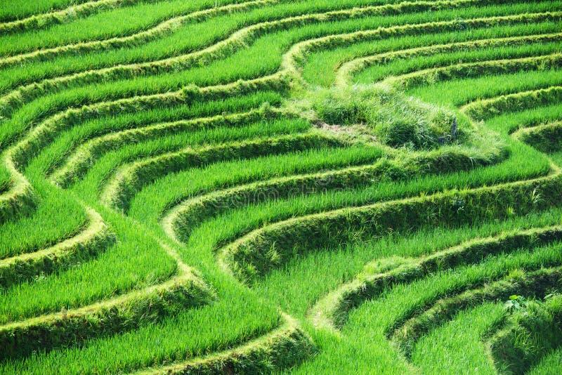 Gräsplanforsar av ris på bergfält royaltyfri fotografi