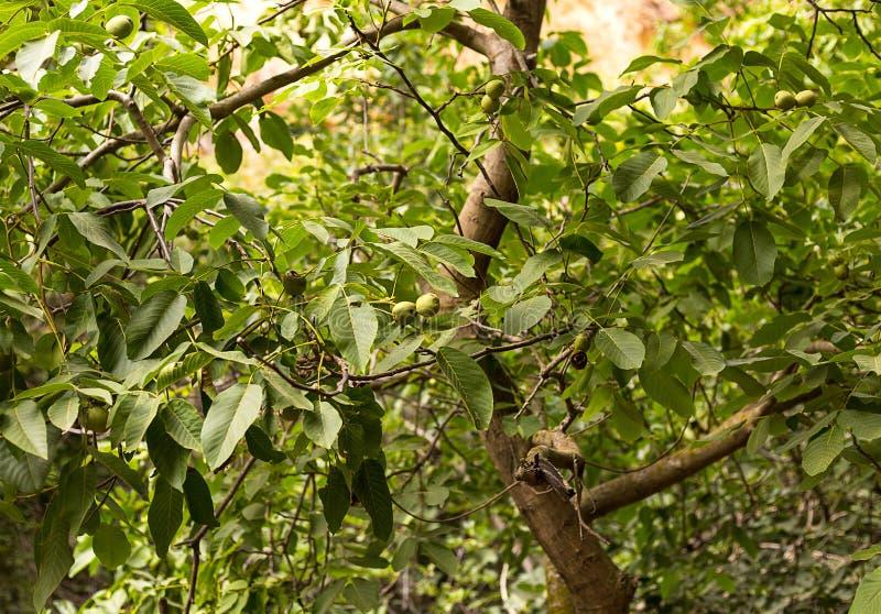 Gräsplanfruktvalnöten växer och mognar bland sidor arkivfoto