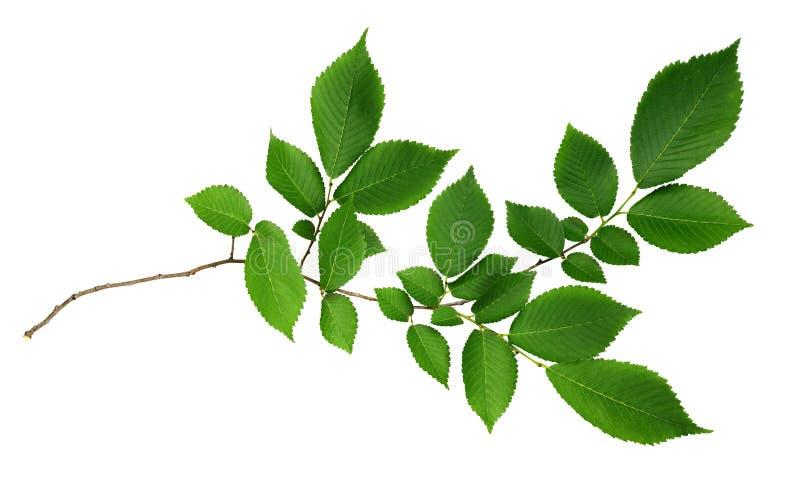 Gräsplansidor av alm-trädet royaltyfri fotografi
