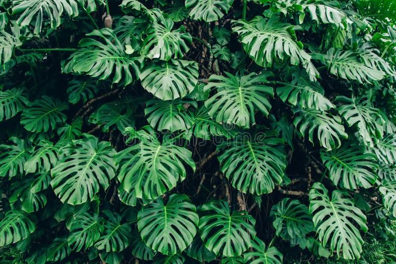 Gräsplansidor av den Monstera philodendronen planterar att växa i växthuset, den tropiska skogväxten, vintergrönt vinrankaabstrak royaltyfri foto