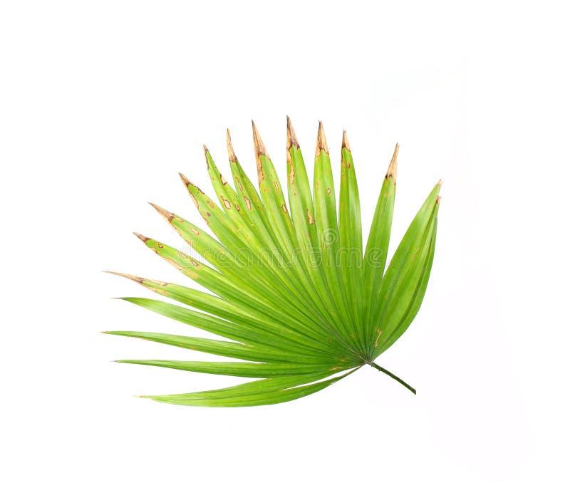 Gräsplansidor av palmträdet som isoleras på vit arkivfoto