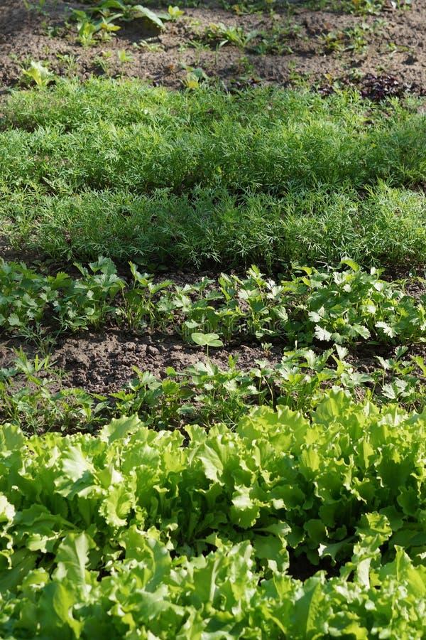 Gräsplansidor av persilja, dill, sallad Organisk mat royaltyfria bilder