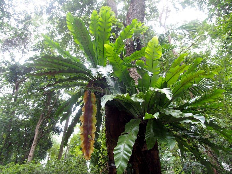 Gräsplansidor av tropiska växter, stor fågelboormbunke royaltyfria bilder