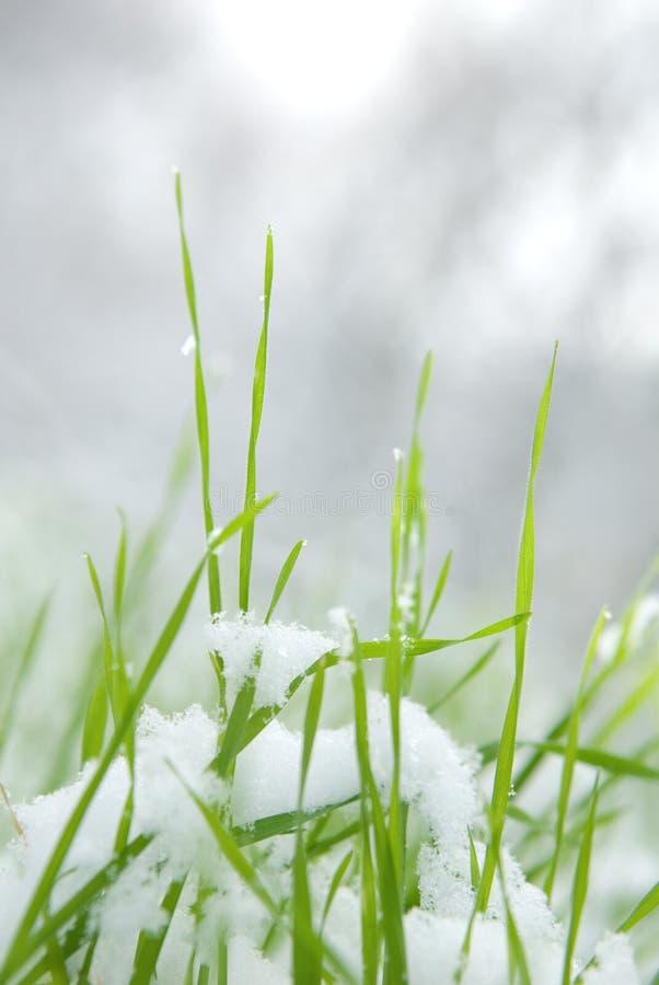 grässnow arkivbild