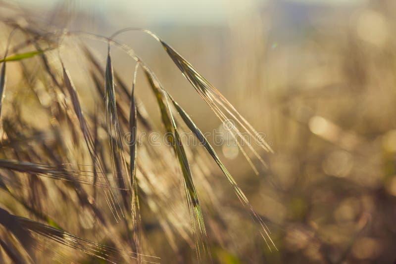 Grässpikelet på fältet på solnedgången royaltyfri bild