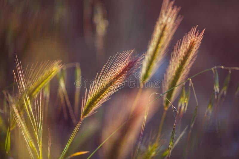 Grässpikelet på fältet på solnedgången royaltyfria foton