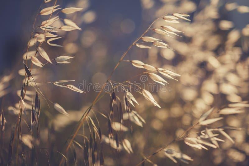 Grässpikelet på fältet på solnedgången fotografering för bildbyråer
