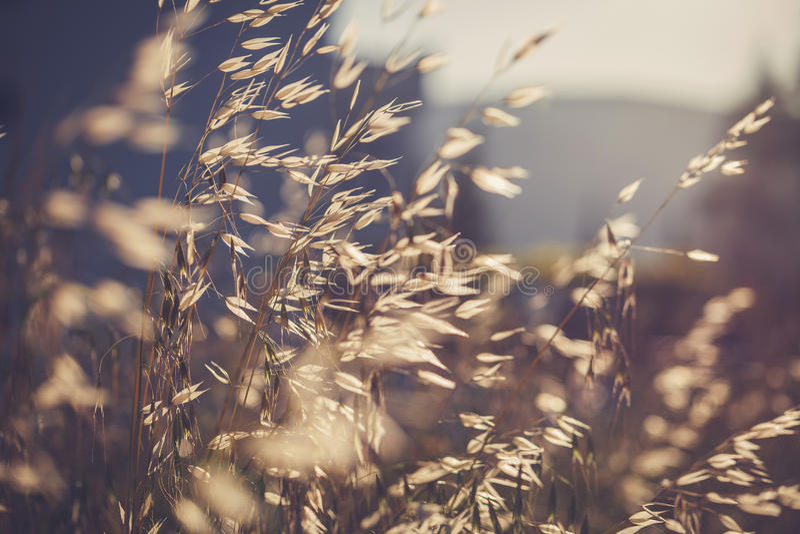 Grässpikelet på fältet på solnedgången arkivbild