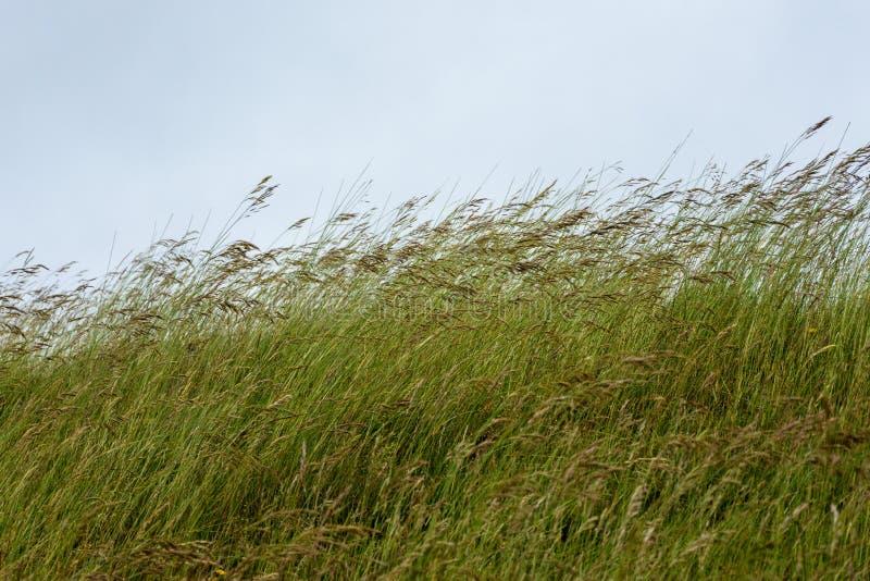 Grässtammar som blåser i brisen royaltyfri foto