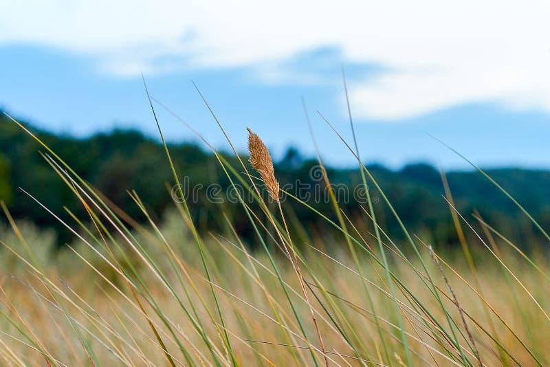 Grässtrå i dyerna royaltyfria foton