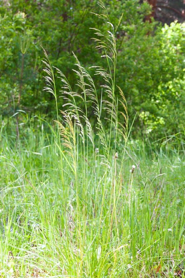 Grässtrån på en grön ljus bakgrund arkivbilder