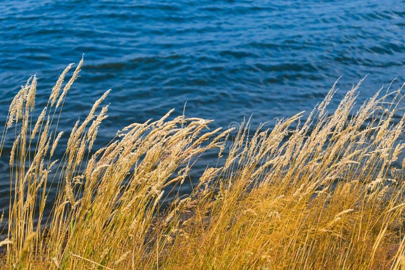 Gräsvasser nära sjön arkivbild