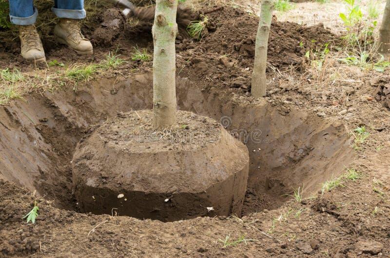 Gräva en tree vid handen arkivbild