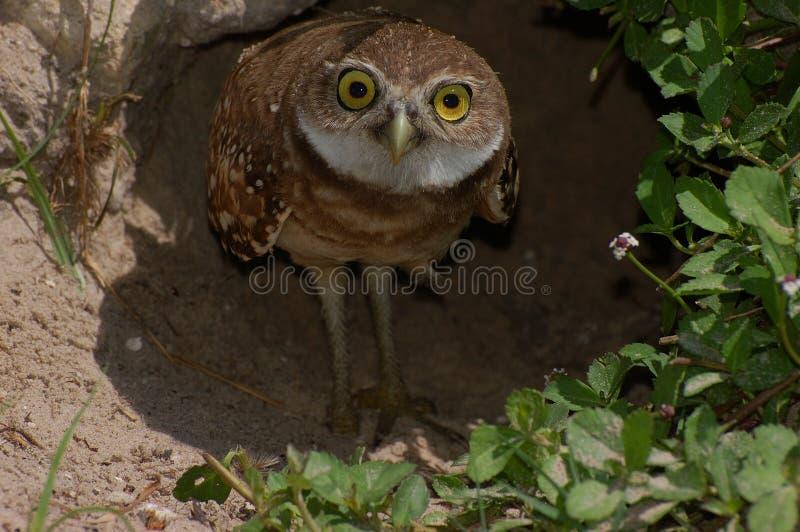 gräva owlbarn arkivfoton
