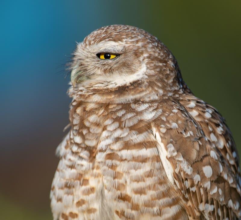 gräva owlstående arkivfoto
