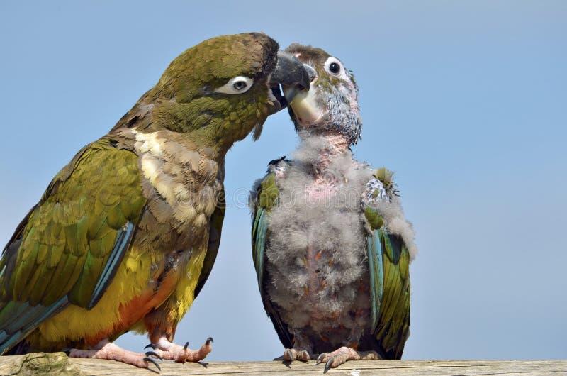 gräva papegojor två fotografering för bildbyråer