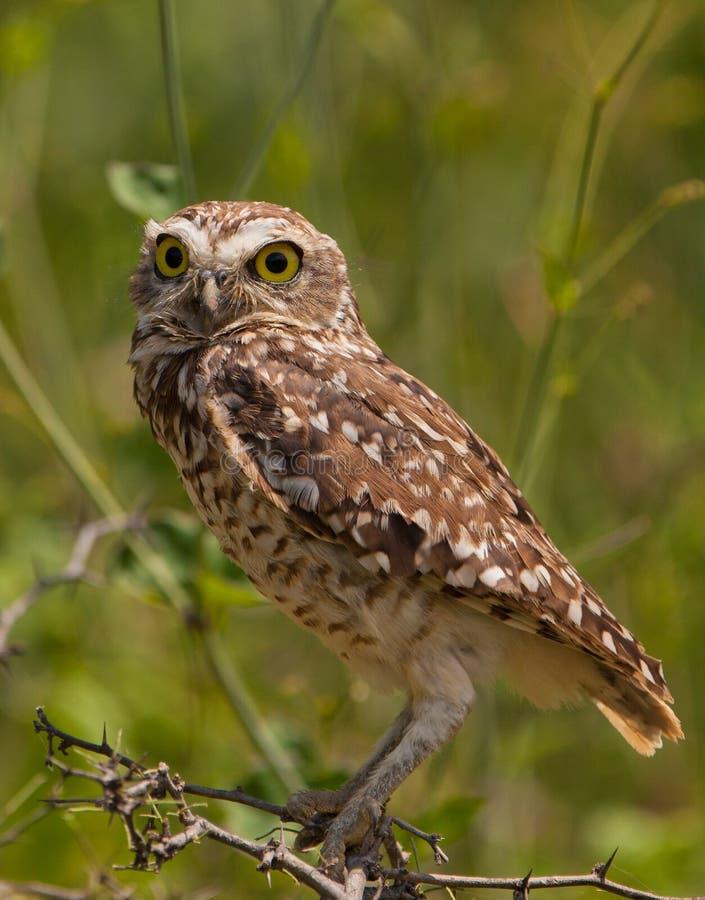 gräva tät owl upp royaltyfri foto