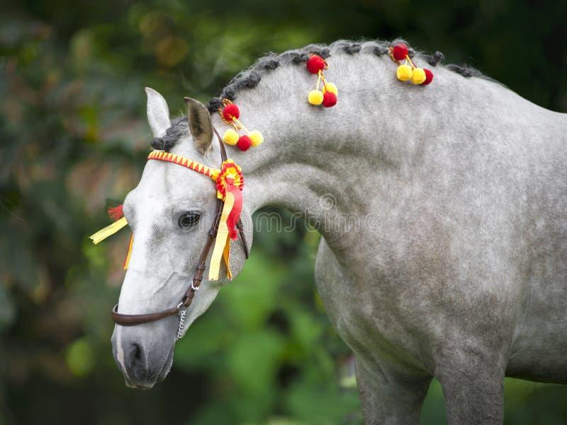 Grå andalusian häst i traditionell stass royaltyfria bilder