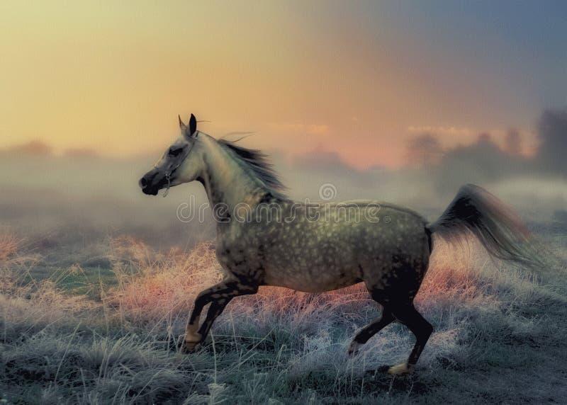 Grå arabisk häst royaltyfri fotografi
