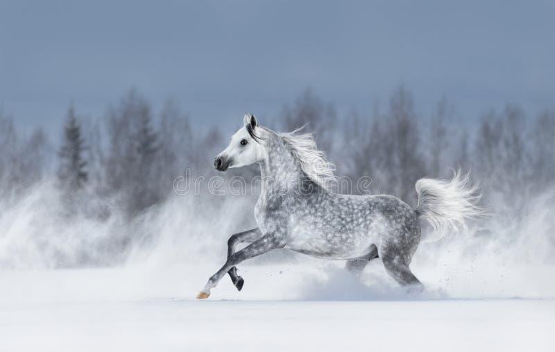 Grå arabisk häst som galopperar under snöstorm fotografering för bildbyråer