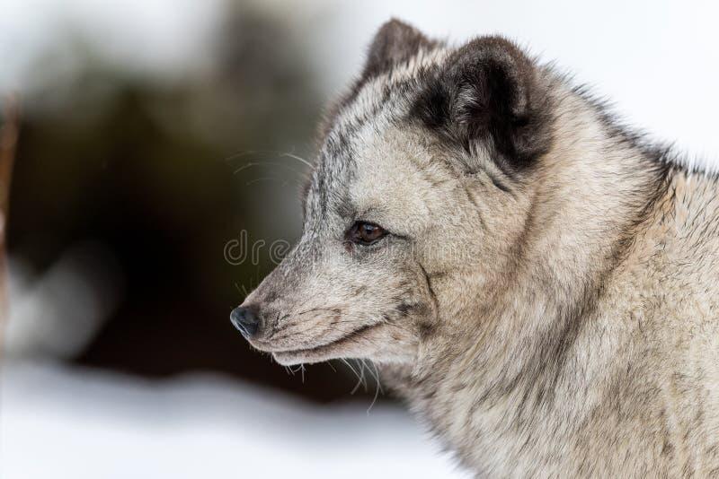 Grå arktisk räv, kvinnlig med vinterpäls som tack vare misstänkas för att vara en bland den mörka färgen Se till det vänstert, mj arkivfoton