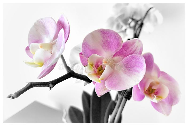 Grå bakgrundsbukett för rosa orkidé arkivfoton