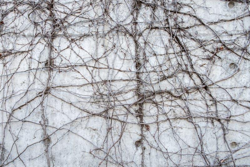 Grå betongvägg med vridna djungelvinrankor royaltyfri foto