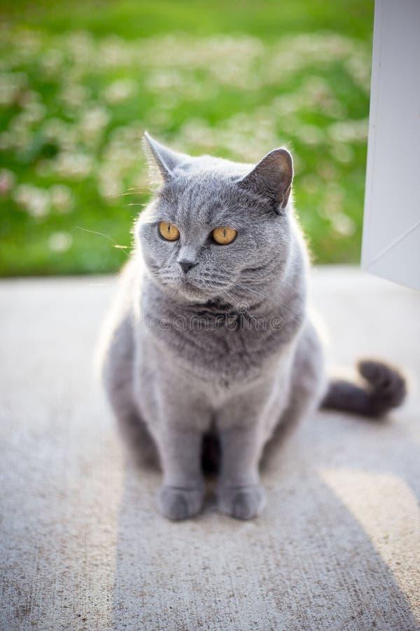 Grå brittisk katt i solljus fotografering för bildbyråer