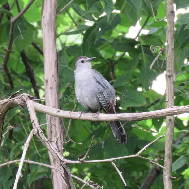Grå catbird på trädfilial fotografering för bildbyråer