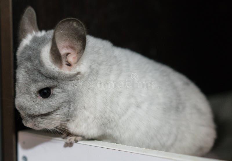 Grå chinchilla för vit fotografering för bildbyråer