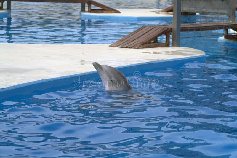 Grå delfin i en blå pöl arkivfoto