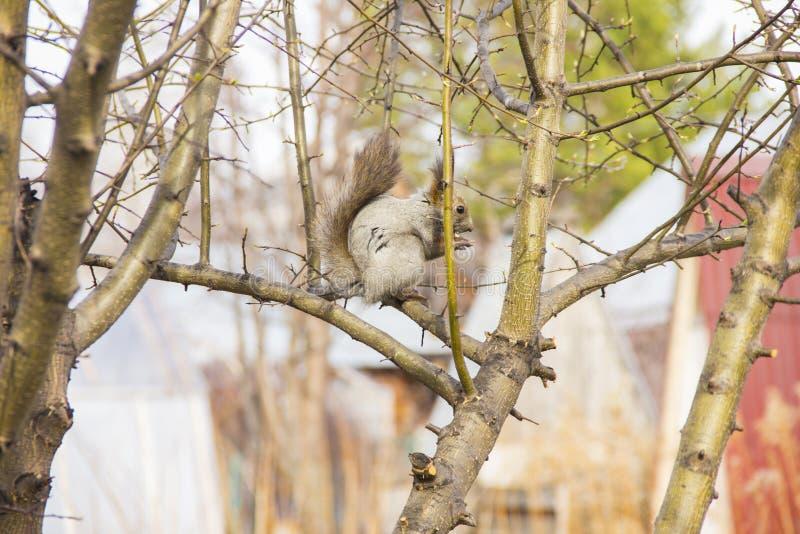 Grå ekorre som sitter på filialerna av ett träd utan sidor royaltyfri foto