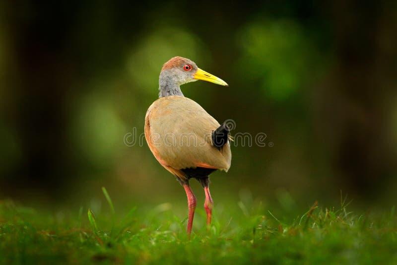 Grå färg-hånglad Trä-stång, Aramides cajanea som går på det gröna gräset i natur Häger i den mörka vändkretsskogfågeln i naturen arkivbilder