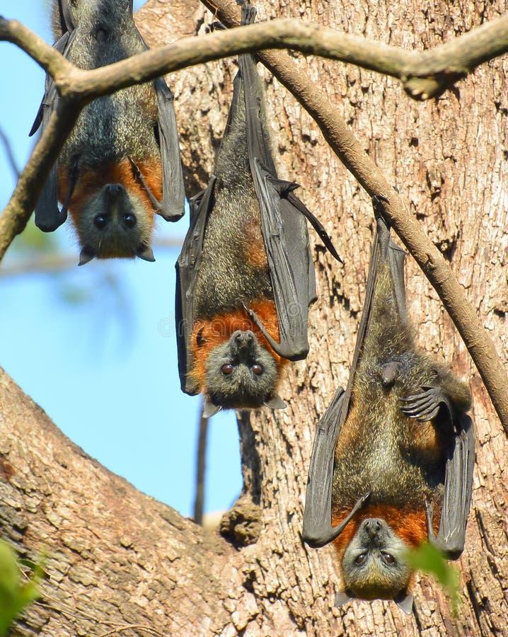 Grå färg-hövdade flyga rävar roost uppochnervänt fotografering för bildbyråer
