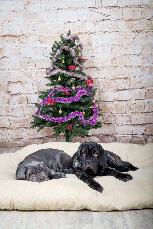 Grå färg-, svart- och bruntvalpar föder upp Neapolitana Mastino Hundförare som utbildar hundkapplöpning efter barndom Hundkapplöp arkivbild